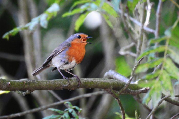 Projekt Female Bird Song, aneb nahrávejte samičí zpěv!