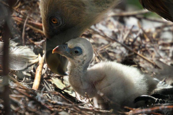 Úspěšná inkubace vejce homosexuálním párem supa bělohlavého