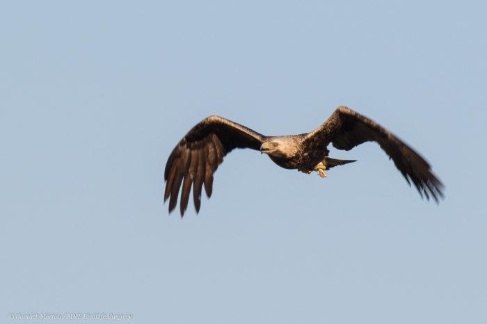Úspěšná ochrana orla královského v Srbsku v roce 2017