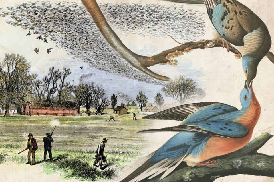 Tragický osud holuba stěhovavého: z miliard na nulu během 100 let