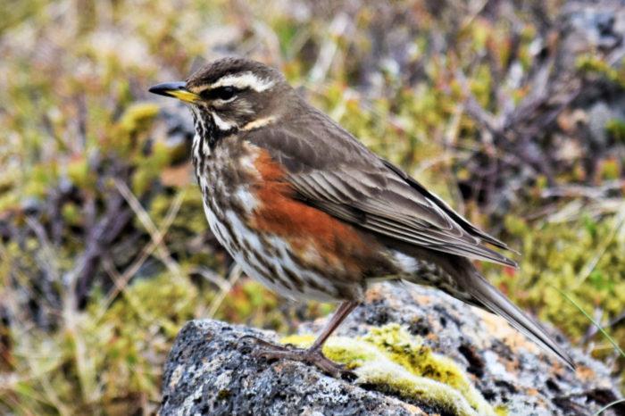 4200 let v ledu: Dokonale zachovalý exemplář cvrčaly nalezen v Norsku