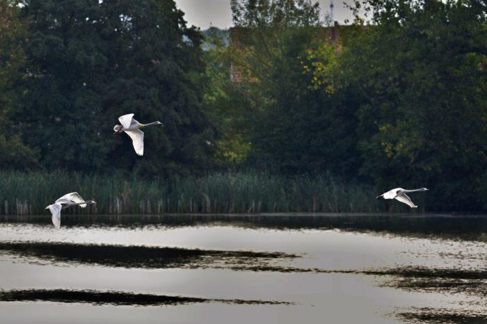 Mláďata labutě Zpěvanky již létají nad rybníkem