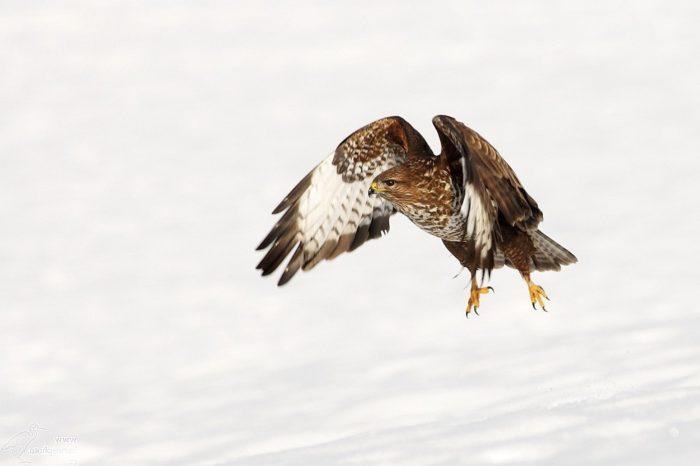Vyšla nová kniha Ptáci Náchodska - dravci