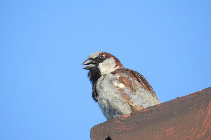 Přináší rozmach zástavby v krajině i zvyšování početnosti vrabce domácího?