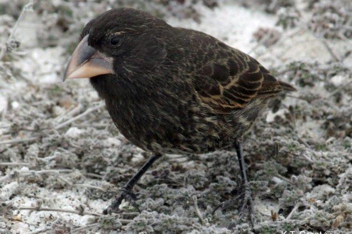 Darwin by byl nadšen, aneb vznik ptačího druhu v reálném čase