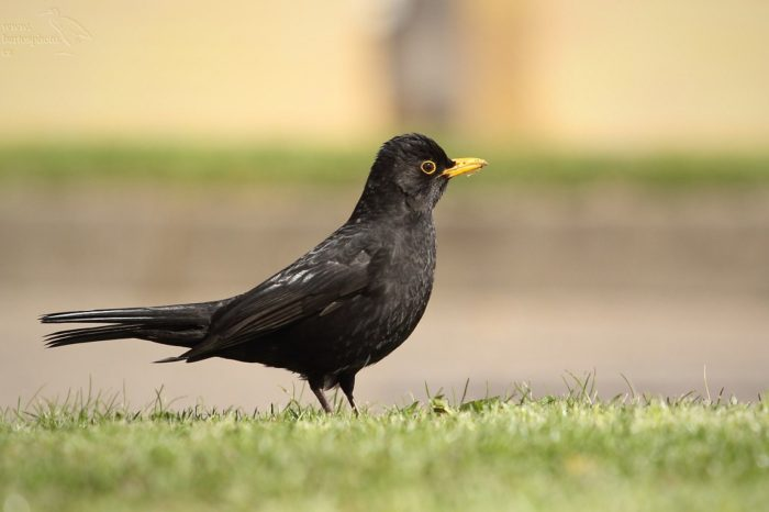 Ochranáři se snaží na problém nárazů ptáků do prosklených ploch upoutat novým videem