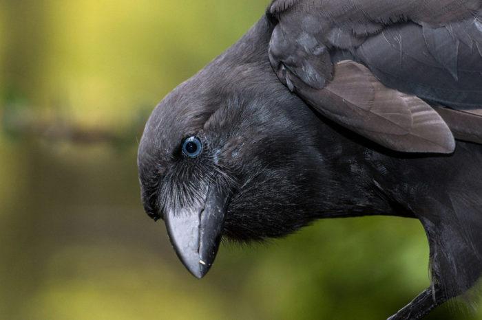 Nová šance pro v přírodě vyhynulé vrány havajské