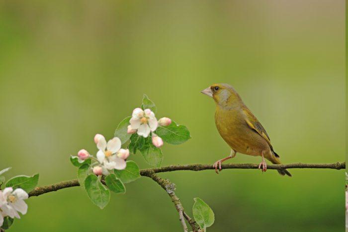 Stává se zvonek zelený ve Velké Británii ohroženým druhem?