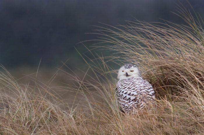 Populace sovice sněžné je zřejmě nižší, než vědci předpokládali