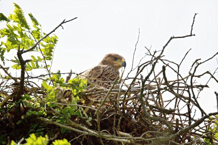 Značená orlice Zora cestuje střední Evropou