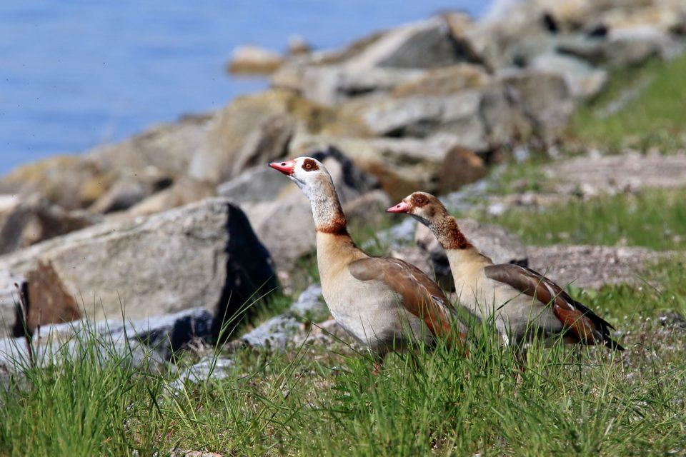 První hnízdění husice nilské v Královéhradeckém kraji