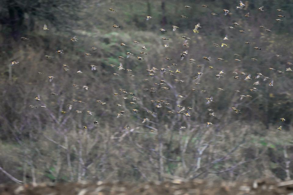 Pozorování melanistického jedince pěnkavy jikavce