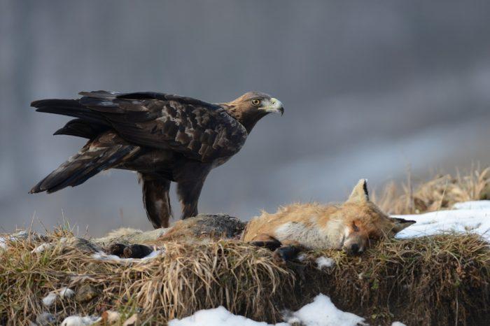 Do ochrany orla skalního se zapojí i lesníci