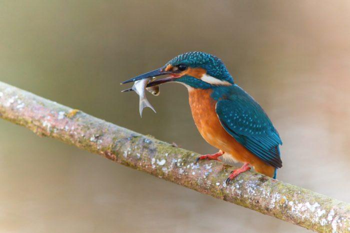 V Národním parku Podyjí je díky teplé zimě méně vodních ptáků