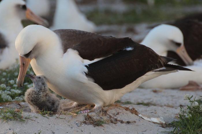 Nejstarší žijící pták, albatrosice Wisdom snesla další vajíčko