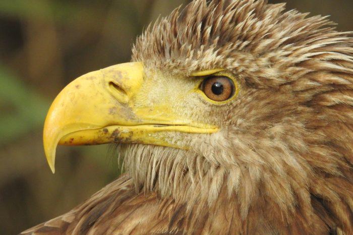 Štěstí v neštěstí blanického orla mořského