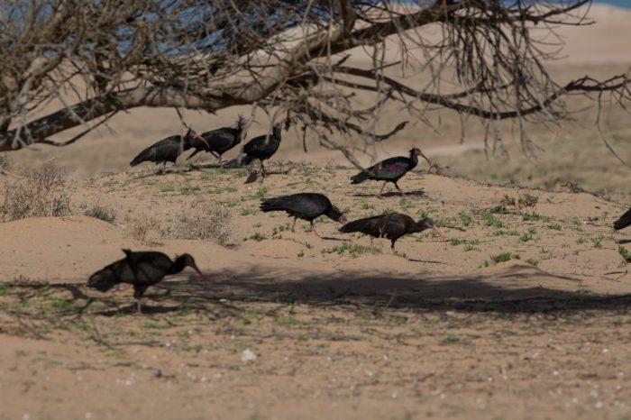 Ostravská zoo se podílí na záchraně ibise skalního