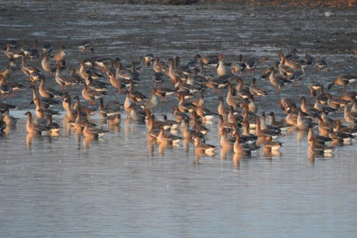 Zapojte se do Mezinárodního sčítání vodních ptáků