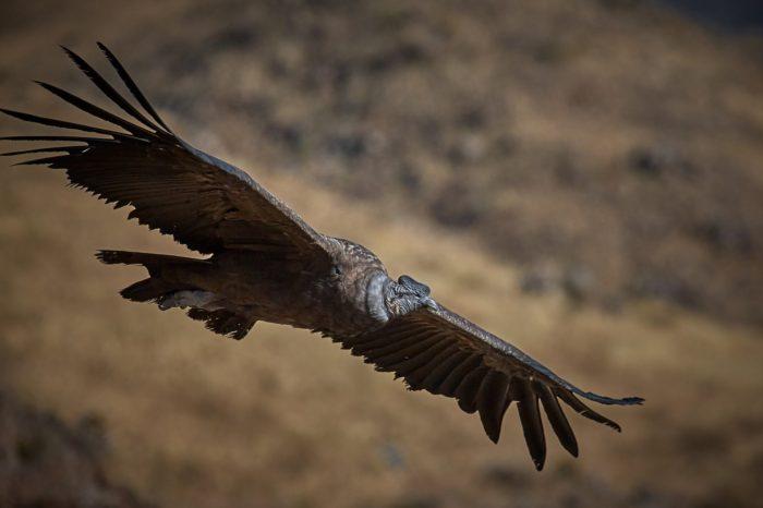 Jižní Amerika: Karbofuran zabíjel v řadách ohrožených kondorů