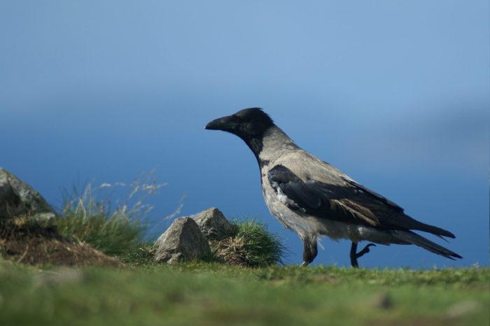 Zajímavé nocoviště vrány šedé a černé na Královéhradecku