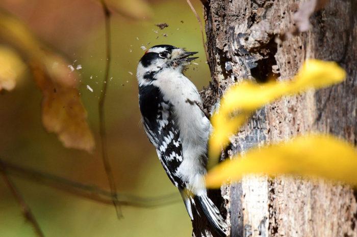 Ovlivňuje mozek šplhavců život strávený tlučením do dřeva?