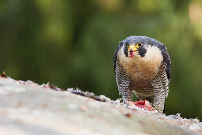 Sokoli stěhovaví již obsazují hnízdiště