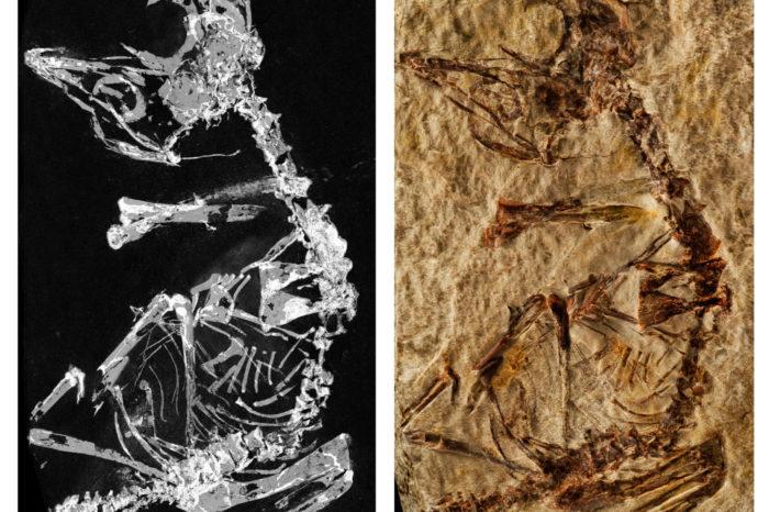 Fosilie prehistorického ptáčete skýtá unikátní vhled do ptačí evoluce