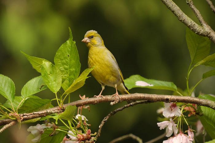 Stane se ze zvonka zeleného vzácný druh?