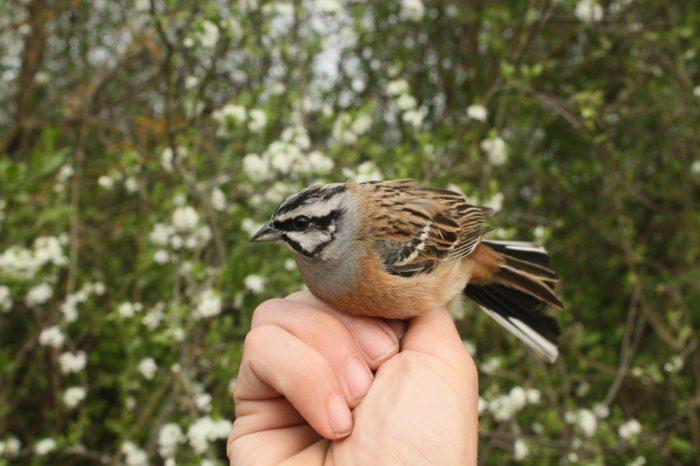 Ornitologická stanice Drienovec je Ptačím světem bez hranic