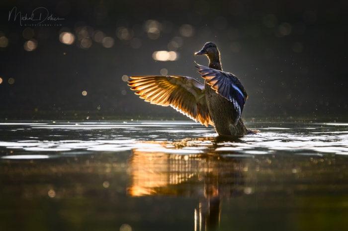 Kachna divoká: nedoceněný pomocník mokřadní biodiverzity