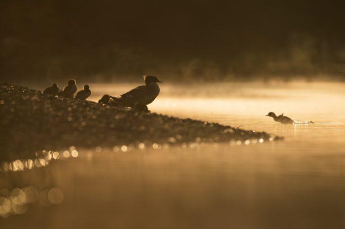 Bude morčák velký pravidelně hnízdícím druhem v Praze?