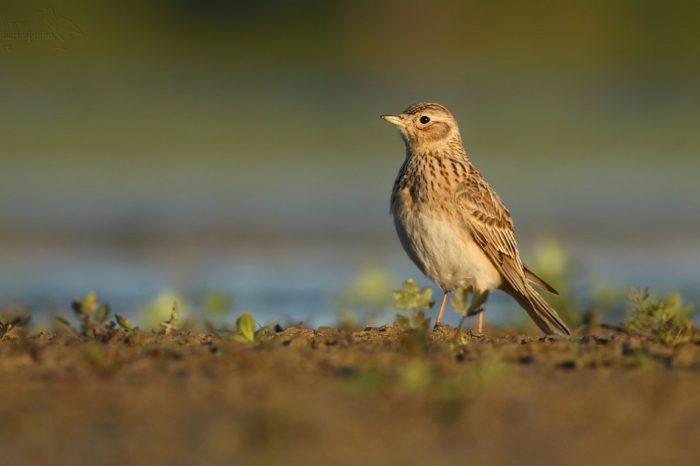 Ptáky zemědělské krajiny Evropská komise chránit nechce