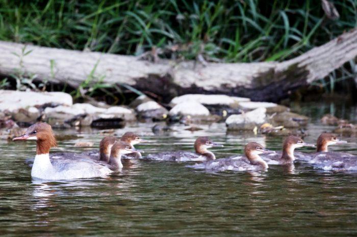 Hnízdění morčáka velkého přibývá také na Slovensku