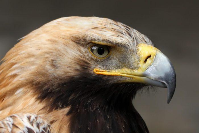 Slovenští mladí orli královští jsou okroužkováni