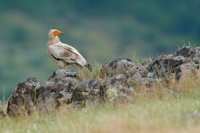 Supi odchovaní v Česku posílí balkánskou divokou populaci
