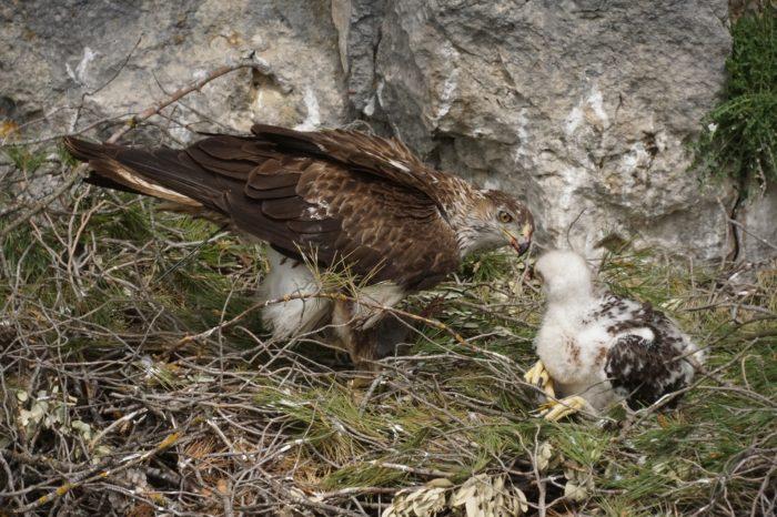 Mohutný požár v Portugalsku ohrozil orla jestřábího