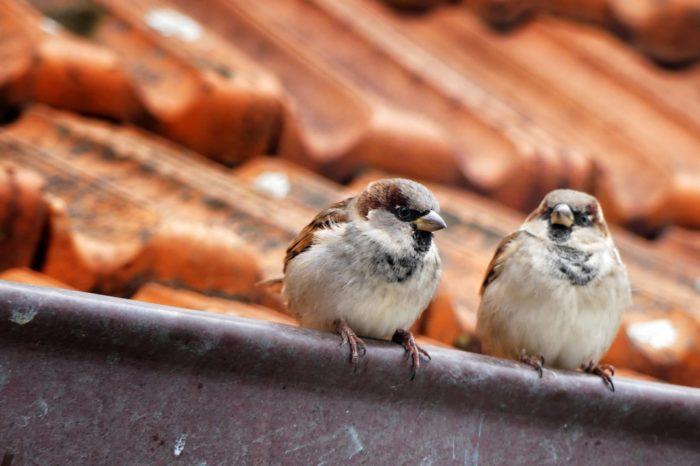 Jak vrabec domácí dobyl svět díky svým genům