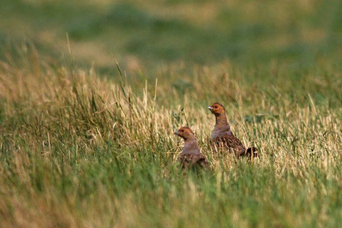 Velcí kopytníci vracejí do krajiny polní ptáky