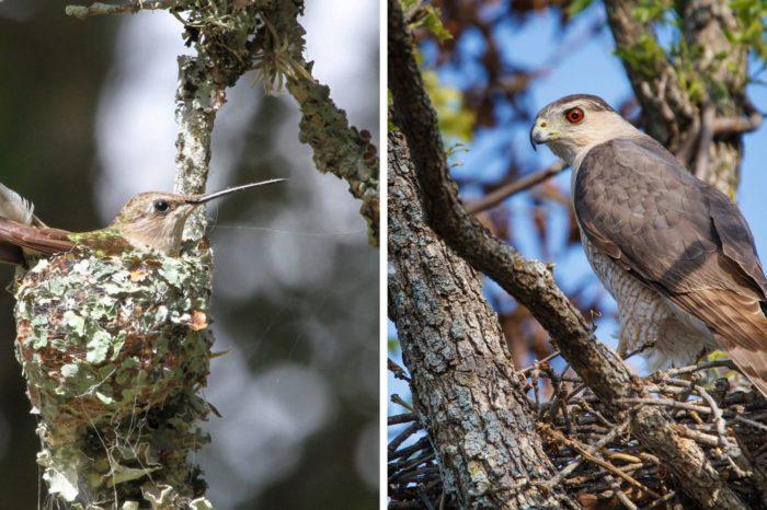Proč je jestřáb kolibříkův nejlepší přítel?