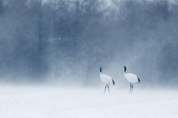 Cranes and Agriculture: O nelehkém soužití člověka s jeřáby