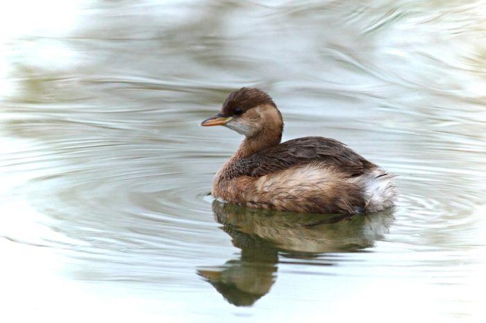 Klimatická změna ovlivňuje výběr zimoviště u vodních ptáků