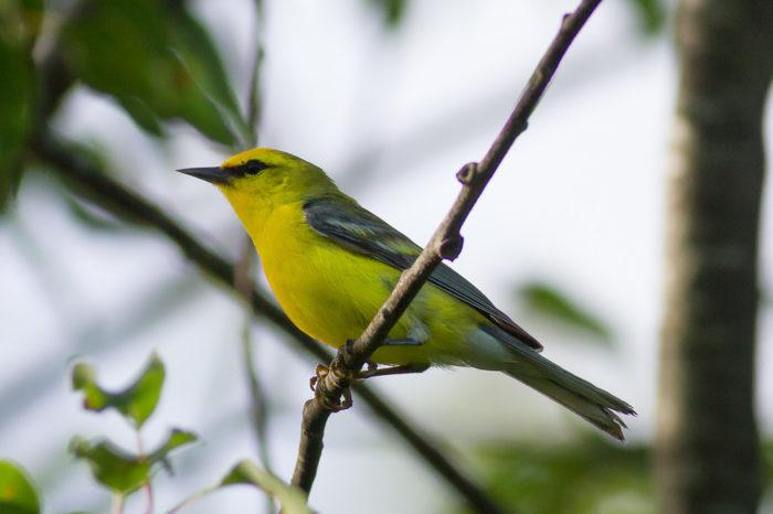 Tři ptáci v jednom! V USA byl poprvé nalezen trojitý ptačí hybrid