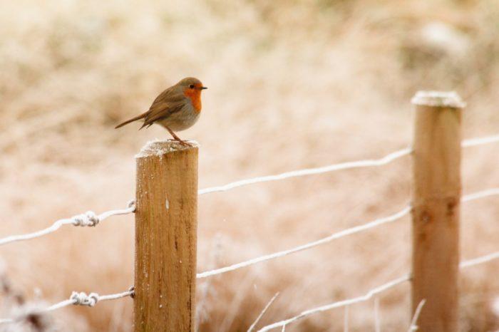 Velká Británie: Odstřel pěvců a ohrožených ptáků má zelenou