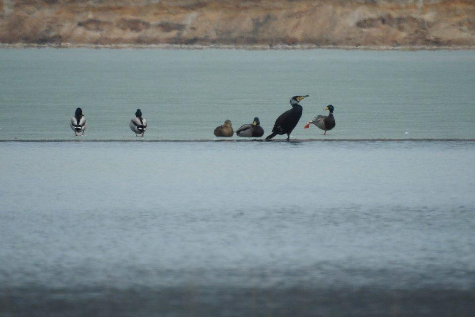 Stovky ornitologů budou na celém našem území o víkendu sčítat vodní ptáky