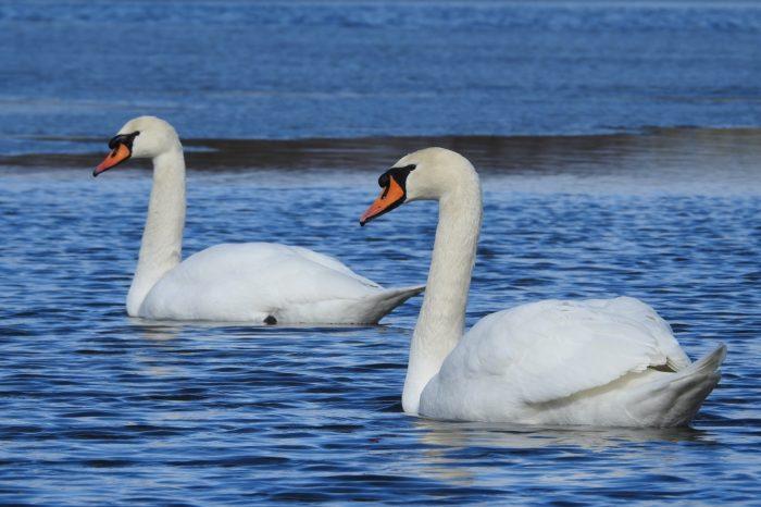 V Národním parku Podyjí letos zimuje více ledňáčků i labutí