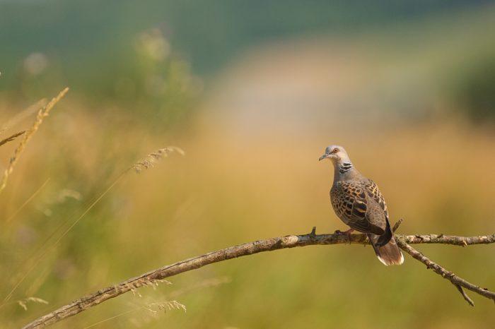 Symbol chřadnoucí krajiny - hrdlička divoká je ptákem roku 2019