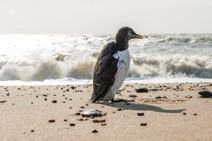Nizozemí: Záhadný úhyn 20 000 alkounů