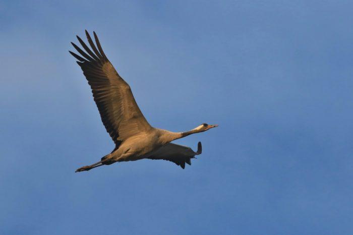 Východočeští ornitologové budou hledat jeřáby
