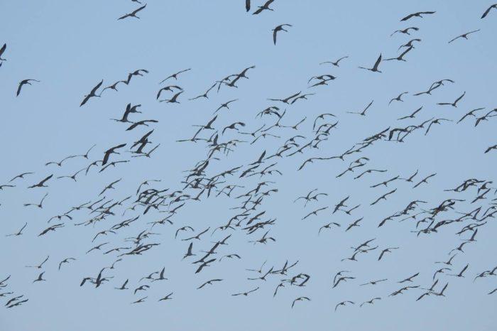 Rekordní počty jeřábů v rezervaci Senné - rybníky