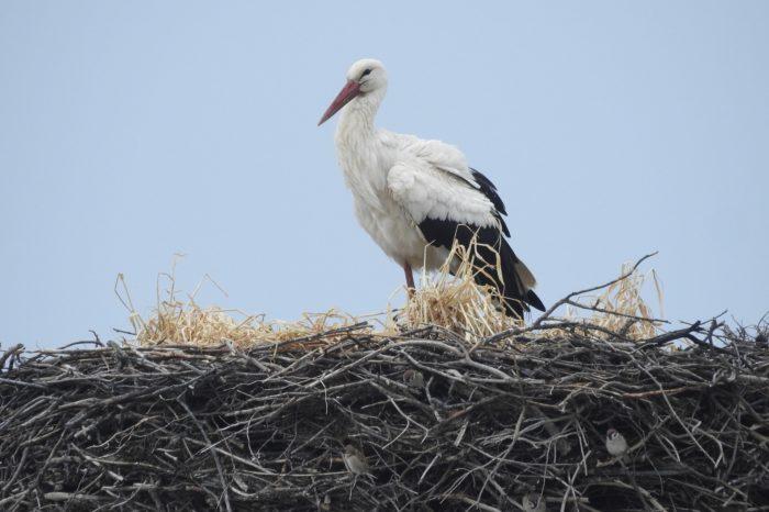 Čápi budou hledat v Krčmani své hnízdo marně